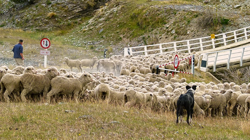 Rush hour traffic in New Zealand © Black Sheep Touring Co.